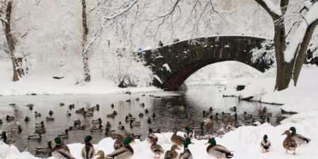Ducks in Central Park